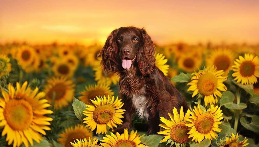 Can Dog Eat Sunflower Seeds