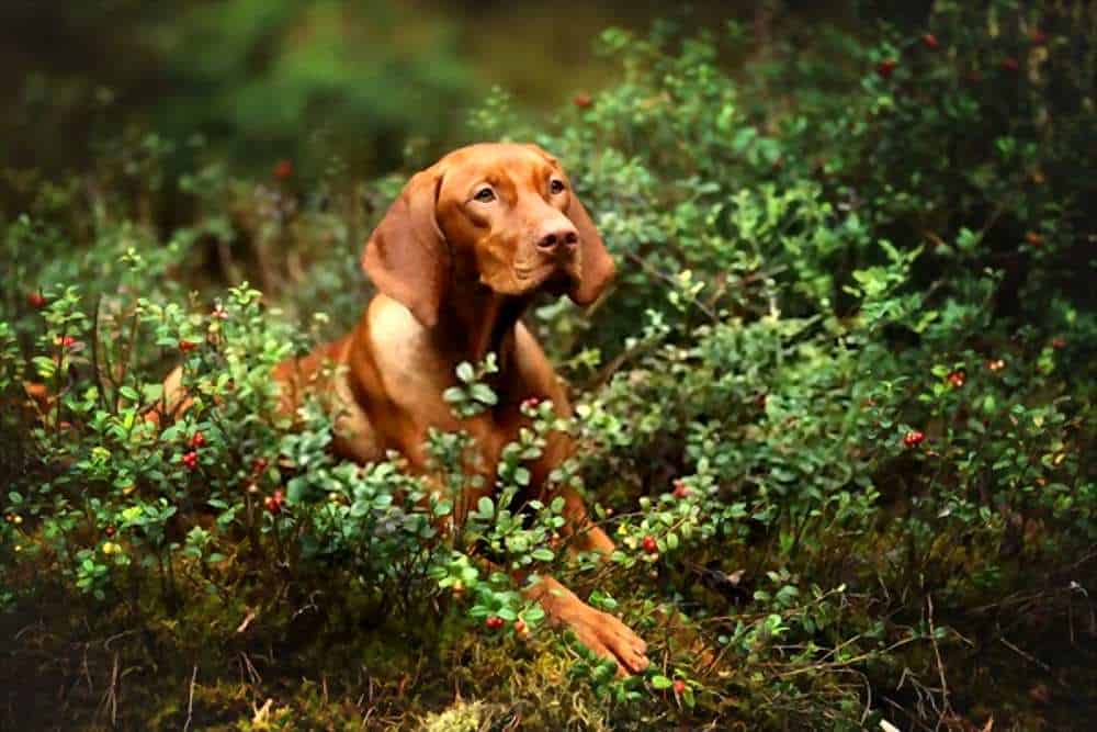 Can Dogs Eat Dried Cranberries