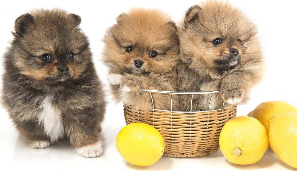 Can Dogs Eat Lemons