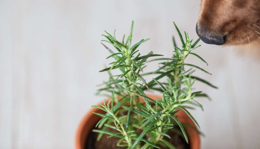 Can Dogs Eat Rosemary