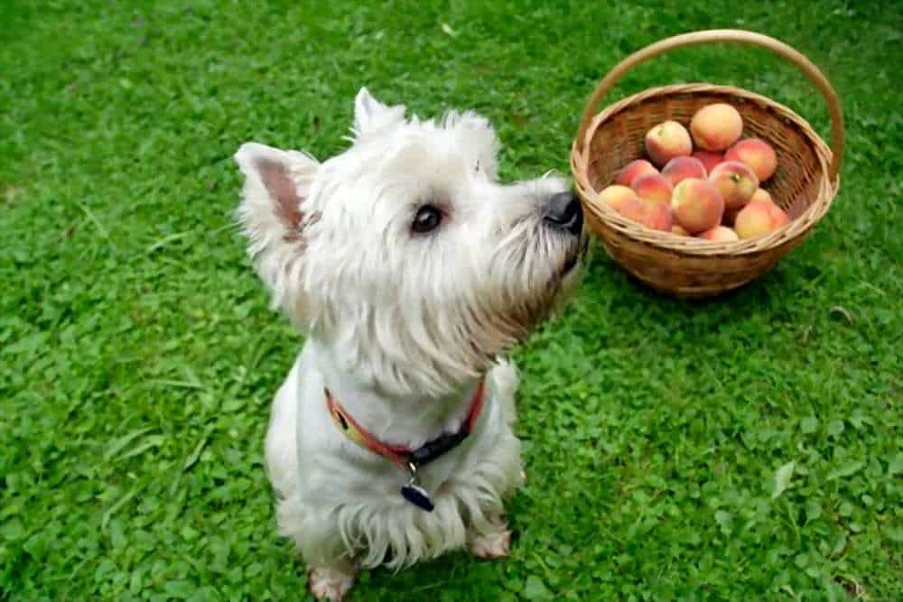 Can My Dogs Eat Peaches