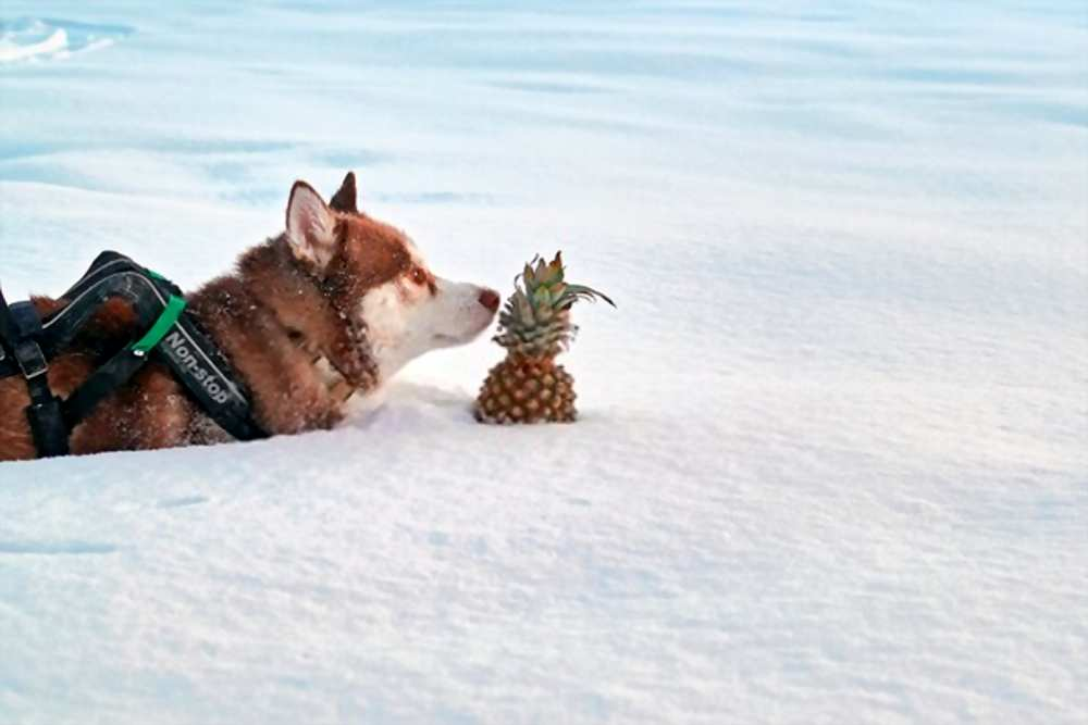 Can My Dogs Eat Pineapple