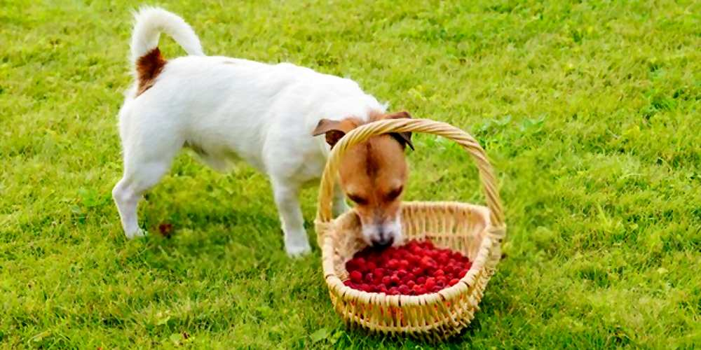 Can My Dogs Eat Raspberries