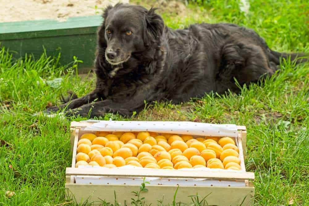 Dh Can Dogs Eat Apricots