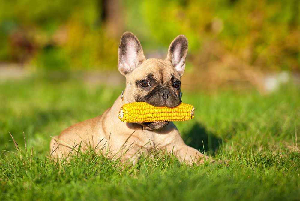 Dh Can Dogs Eat Corn Cobs