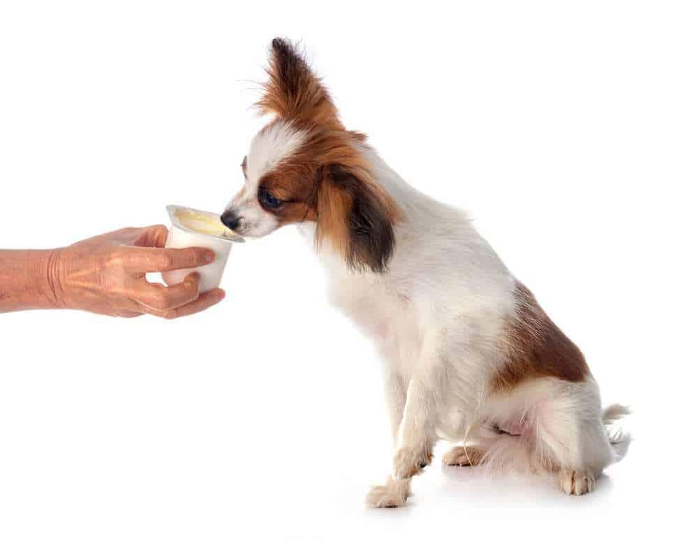 Dh Can Dogs Eat Greek Yogurt