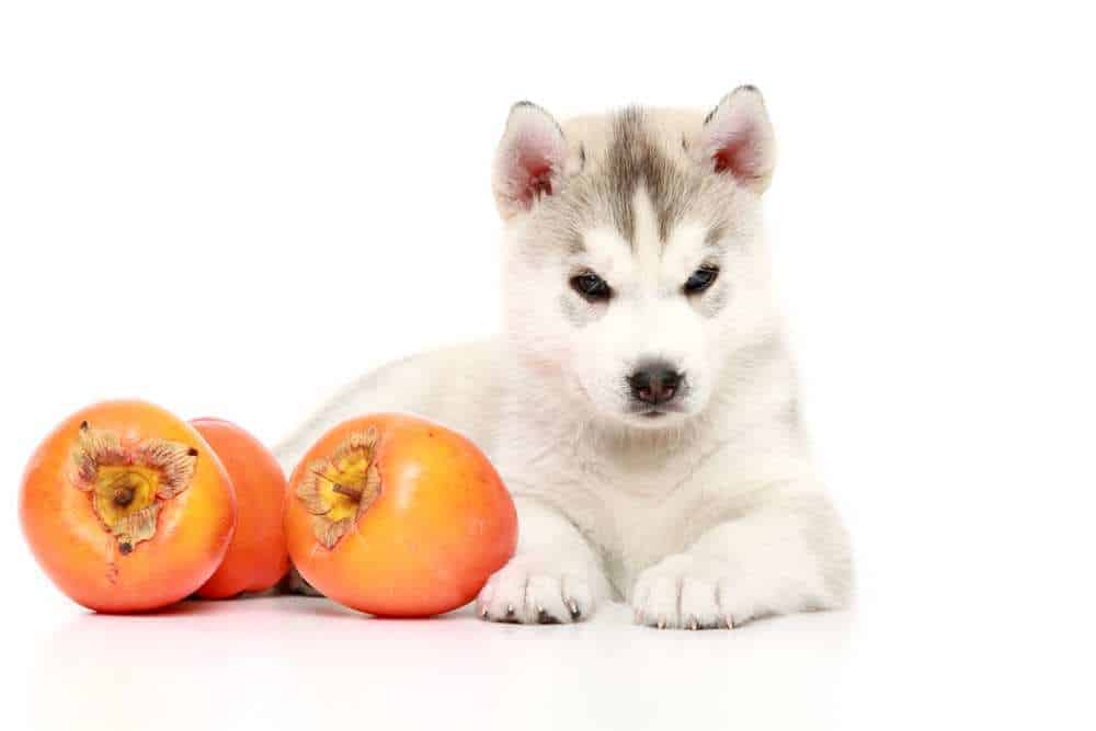 Dh Can Dogs Eat Persimmons